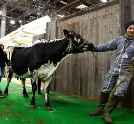 A cow and is being pulled by a smiling a farmer during the 57th International Agriculture Fair