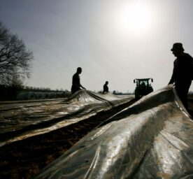 Harvest workers pull a film onto the asparagus ridges in an asparagus field.