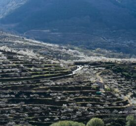 Cáceres, Spain: Cherry trees photographed during the blossom in traditional terraced farms in Tornavacas.