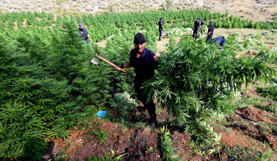 In this photo taken on Thursday Aug. 25, 2015, a police officer carries cannabis plants in Kurvelesh commune, 200 kilometers (125 miles) south of the Albanian capital, Tirana.