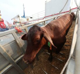 Beef cattle imported from Australia to China in 2018.